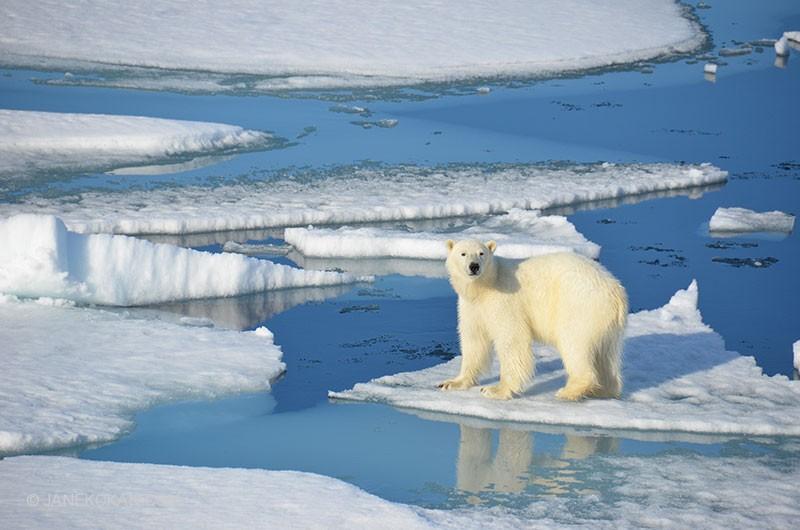 Image result for polar bear melting ice caps