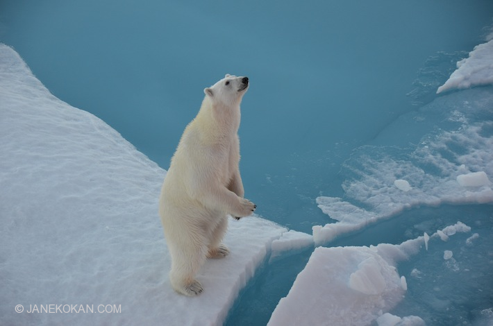 Curious polar bear in the Northwest Passage, Nunavut, Canada